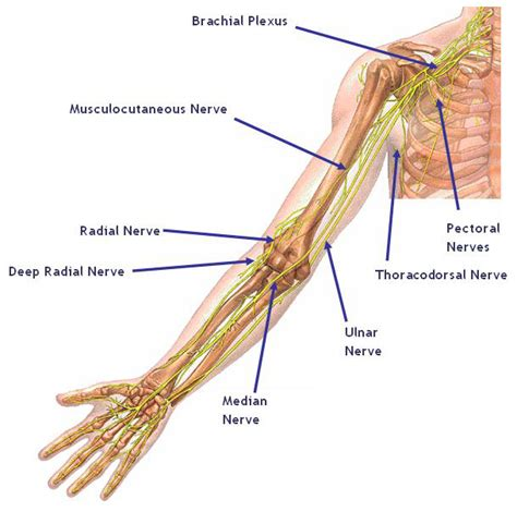 diagram of nerves in neck shoulder peak physical therapy