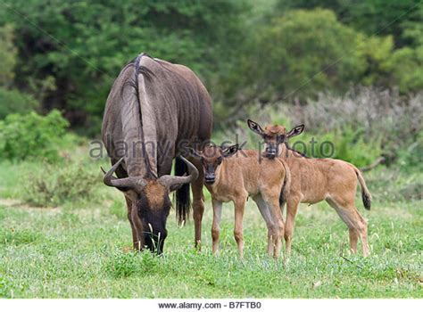 baby wildebeest baby wildebeest stock photos baby wildebeest stock