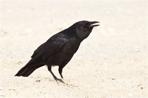 fish crow corvus ossifragus