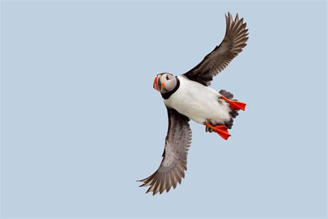 fly like an eagle puffins