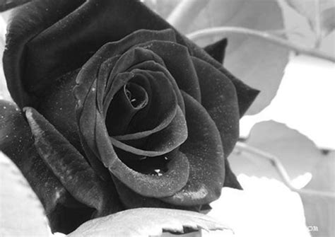 imagenes rosas negras imagenes de rosas negras