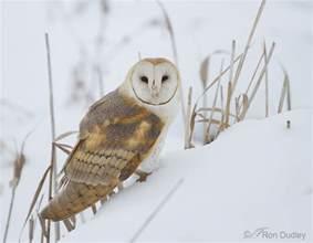 snowy barn owl barn owl on a snowy slope 171 feathered photography