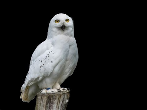 big snowy owl on a black background wallpapers and images