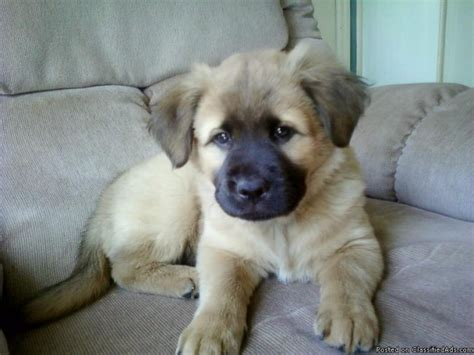 golden retriever and german shepherd mix for sale golden retriever german shepherd mix available for adoption breeds picture