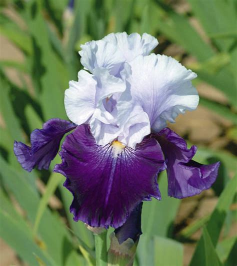 bearded iris iris royal bearded iris