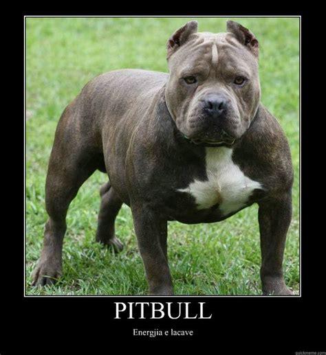 Pitbull Meme - pit bull memes