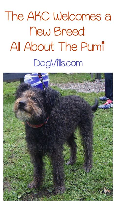 American Kennel Club Dog Breeds by Introducing The Pumi The Akc S Newest Recognized Dog Breed