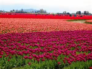 tulip fields the tulip fields around laconner washington ddfreeinkirkland