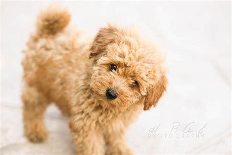 mini poodle lifespan poodle for adoption wow