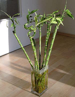 Läuse Auf Orchideen 4233 by Dracaena Braunii