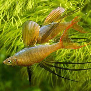 peluang usaha budidaya ikan indonesia peluang usaha budidaya ikan iriatherina dan analisa