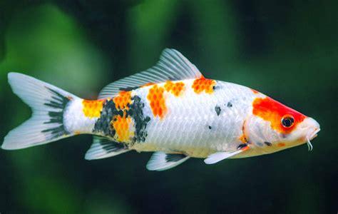 types of aquarium fish types of aquarium fish for home