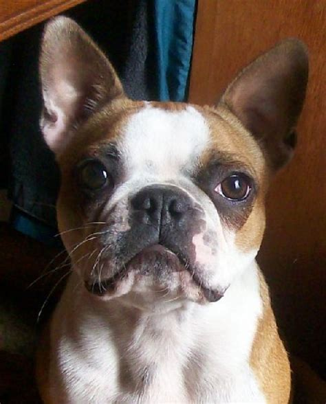 pugs and boston terriers brown or and white boston terriers re color vs standard