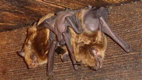 how to get rid of bats in your house how to get rid of bats from your attic without hurting them gardentipz com