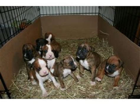 boxer puppies for sale in ohio boxer puppies in ohio