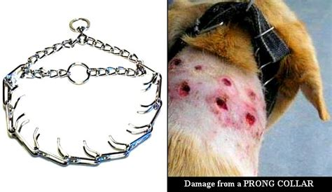 pinch collar uk bans the sale of prong collars