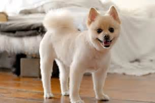pomeranian with hair pomeranian hair cut my style