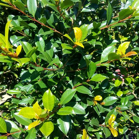 lilly pilly resilience native plants plants shrubs