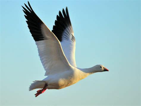 what is fling free stock photo ross s goose flying bird flight
