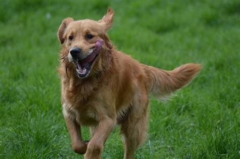 golden retriever techniques golden retriever news stories pictures products golden retrievers home