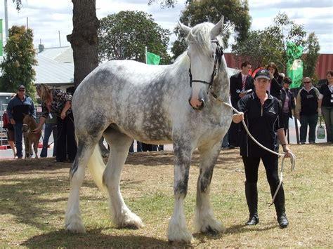 Größte Pferd Der Welt by Caballo De Shire Blanco Im 225 Genes Y Fotos