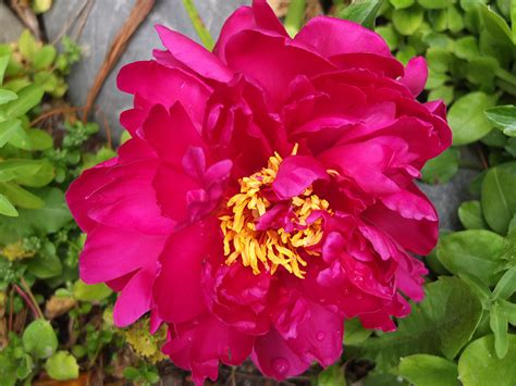 pink peonies and other flowers from long ago new england peonies