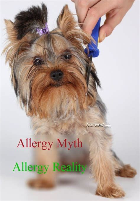 yorkies and allergies allergy myth from www norwex some breeds are better for with
