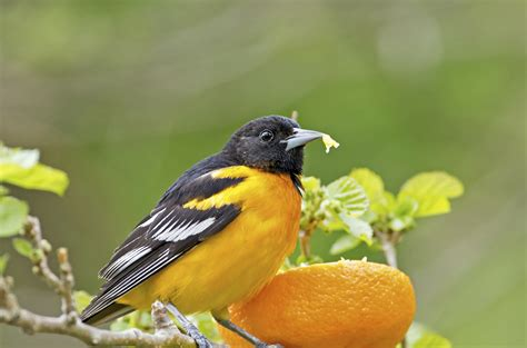 image gallery orange birds eat fruit