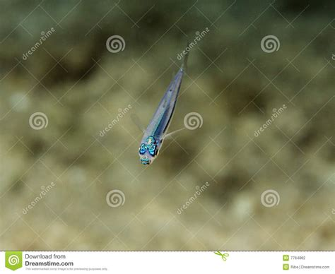 Mini Fish Blue small blue fish stock photography image 7764862
