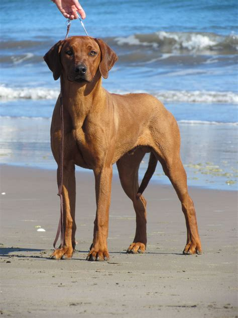 how to a ridgeback rhodesian ridgeback breed 187 information pictures more