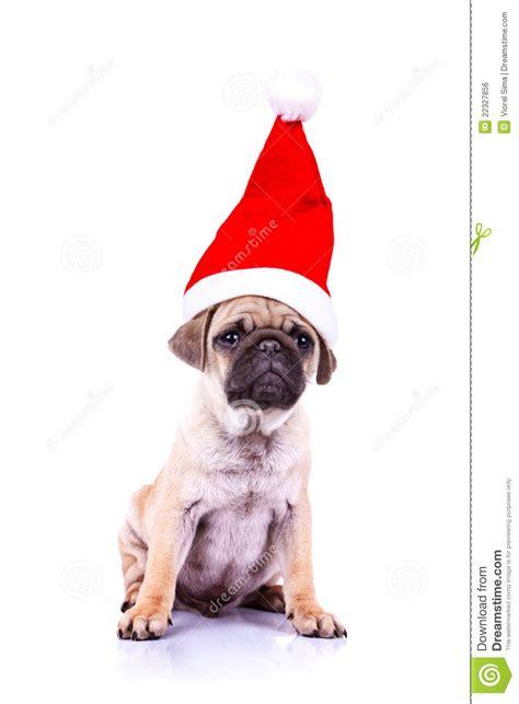 pug in santa hat pug puppy wearing a santa hat royalty free stock image image 22327856