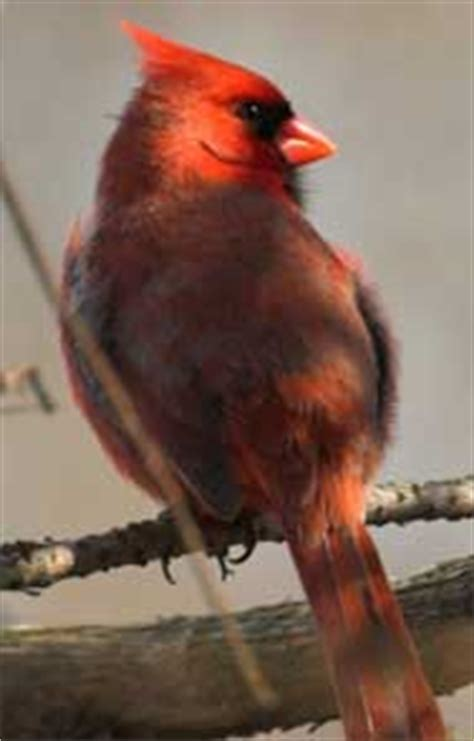 birds what is the difference between red birds and