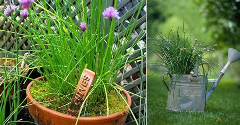 growing chives  pots  care balcony garden web