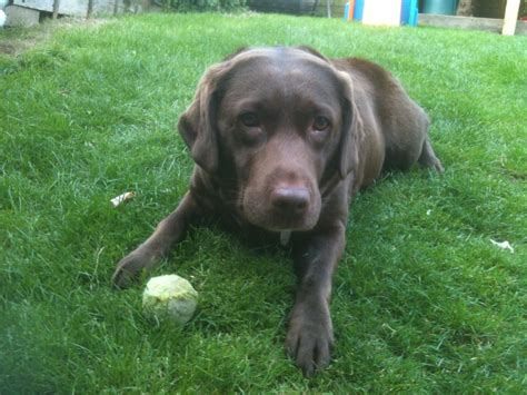 chocolate lab puppies for adoption 7 year chocolate labrador for adoption rugby warwickshire pets4homes