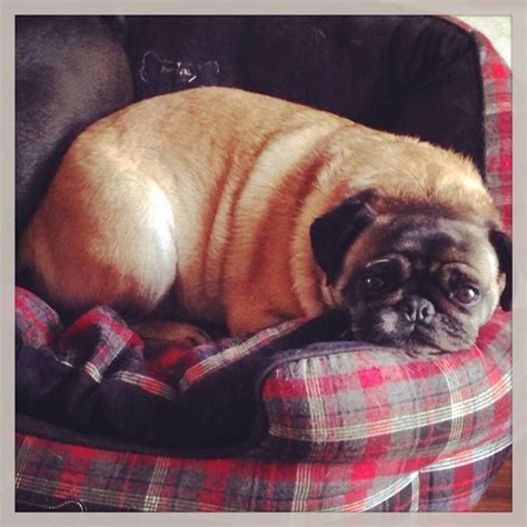do pugs drool 17 best images about pugs on pug brindle pug and pug