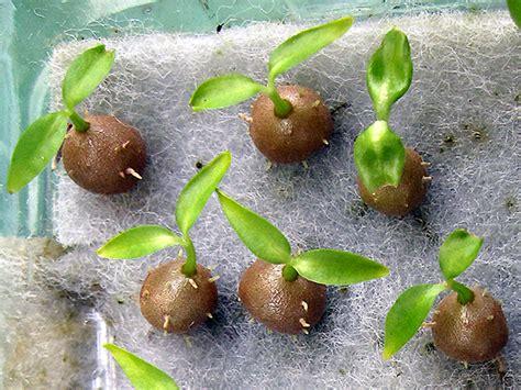 Garden Faerie Ant Plants Debut At Matthaei Botanical Gardens Ant In Vegetable Garden