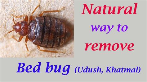 natural way to get rid of bed bugs natural way to remove bed bugs get rid of udush youtube