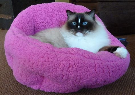rag doll not on the high ragdoll cats everything you need to about ragdoll