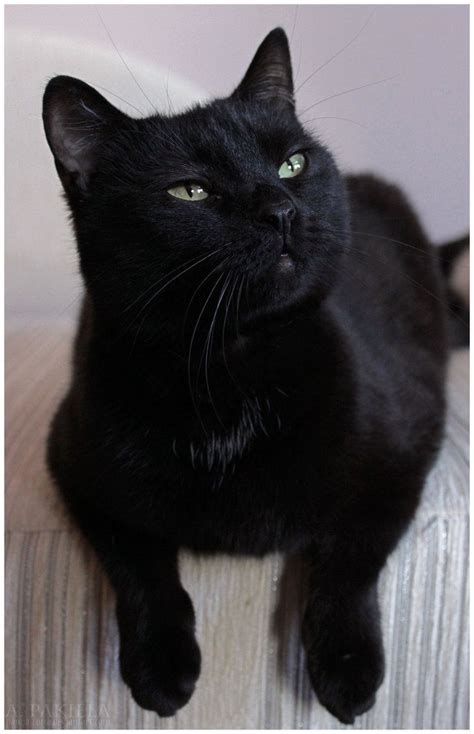 K Sq Black Cat Big Size pictures of black cats www imgkid the image kid has it