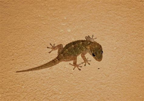 how to get rid of lizard in my room home remedies to get rid of lizards home we and the o jays