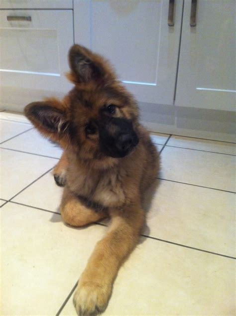 fluffy german shepherd puppy fluffy puppy my baby german shepherd gsd germanshepherd podge