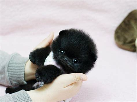 fluffy teacup puppies black cuteness fluffball fluffy fuzzy pom teacup puppies teddy
