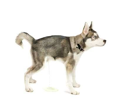 how to potty a husky puppy how to potty a puppy american kennel club