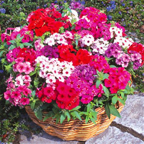 Wholesale Flowers by Buy Wholesale Flower Phlox From China Flower Phlox