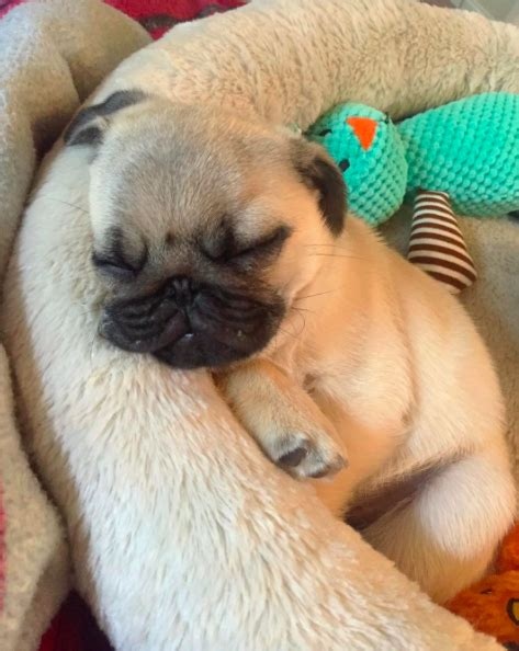pug addict most epic pug photos that ll make you the breed