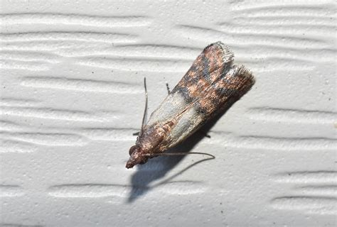 small beetles or moths in your kitchen port st