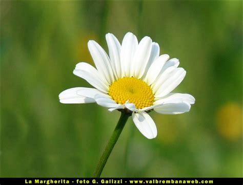 i fiore fiore margherita