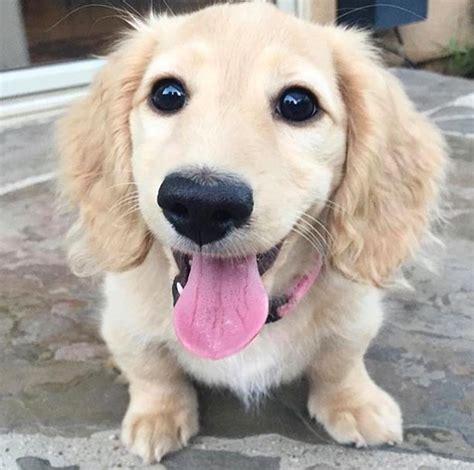 hund golden retriever jag vill s 229 g 228 rna ha en hund
