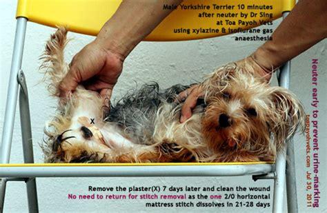 yorkie neutering veterinary medicine surgery singapore toa payoh vets dogs cats rabbits guinea