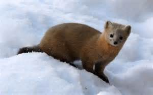 The sable is found across northern asia throughout siberia into